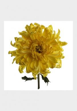 Chrysanthema, 50x50, Fabio Zonta